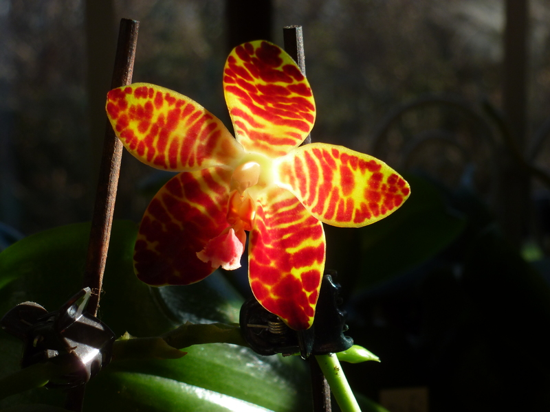 Phalaenopsis Ambonosa x gigantea P1020068iusbm