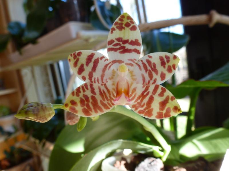 Phalaenopsis amboinensis x gigantea (David Lim) P102007307stm