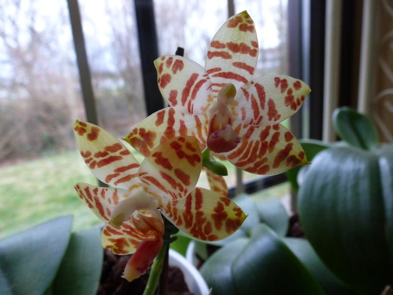 Phalaenopsis amboinensis x gigantea (David Lim) P1020132hskgq