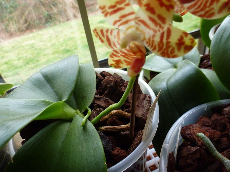 Phalaenopsis amboinensis x gigantea (David Lim) P1020133mcj0y