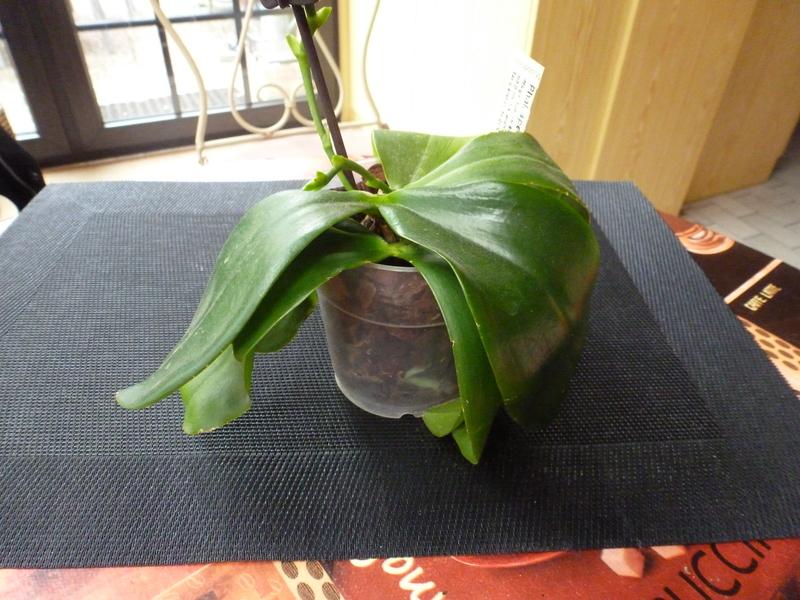 Phalaenopsis tetraspis x violacea (Jennifer Palermo) oder Phal. speciosa x violacea (Germaine Vincent) P1020142faong
