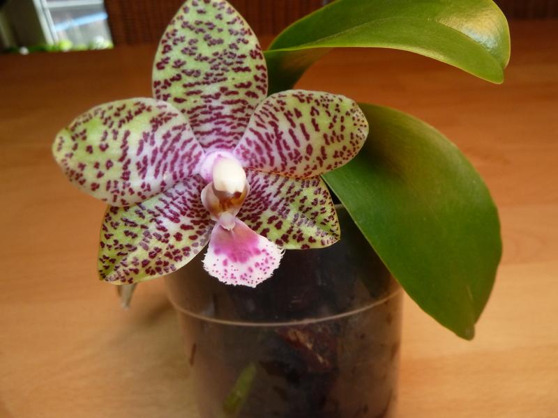 Phalaenopsis gigantea Kreuzungen..... P1120070owacm