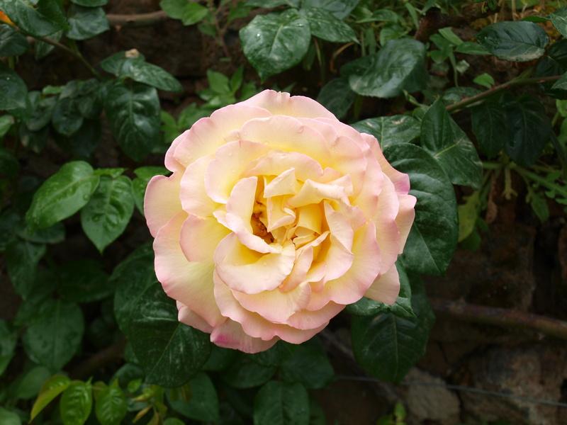 roses spanien wochenmarkt