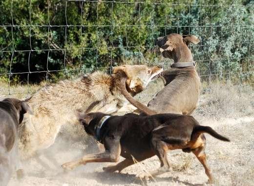 Z kojotem trzeba ostrożnie 3