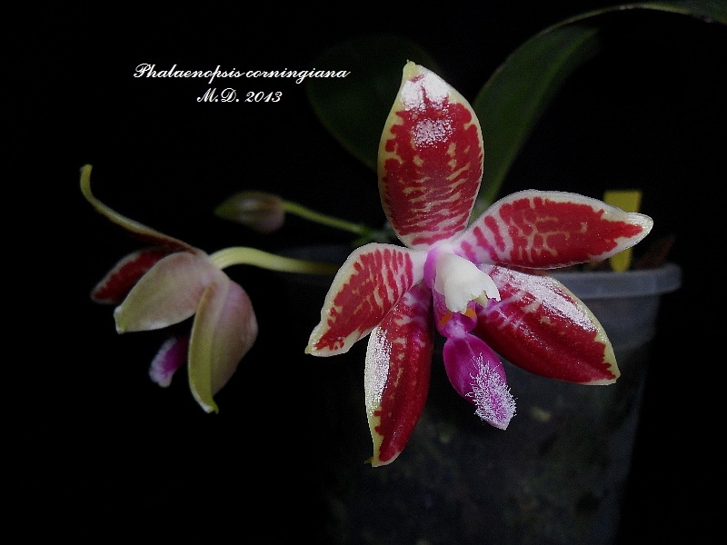 Phalaenopsis corningiana Phalaenopsis-corningiwmjhv