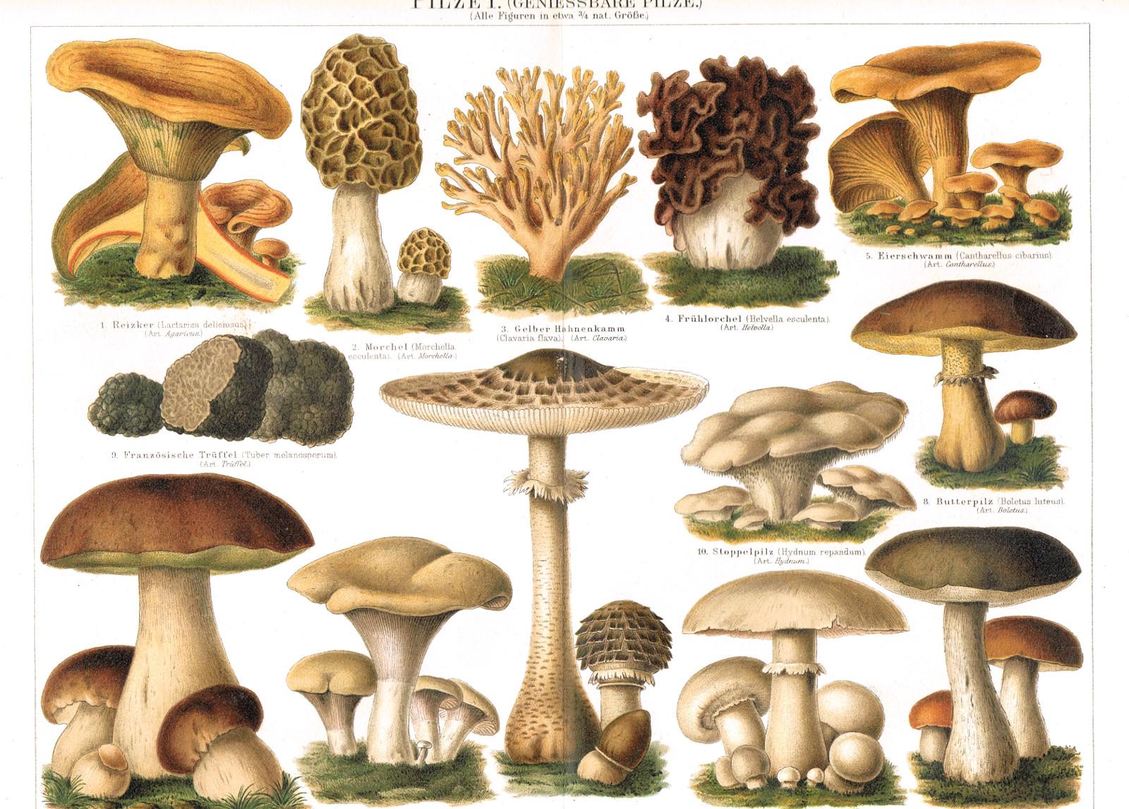 pilze essbar lithographie 1906 genie baere mykologie mushrooms edible ebay. Black Bedroom Furniture Sets. Home Design Ideas