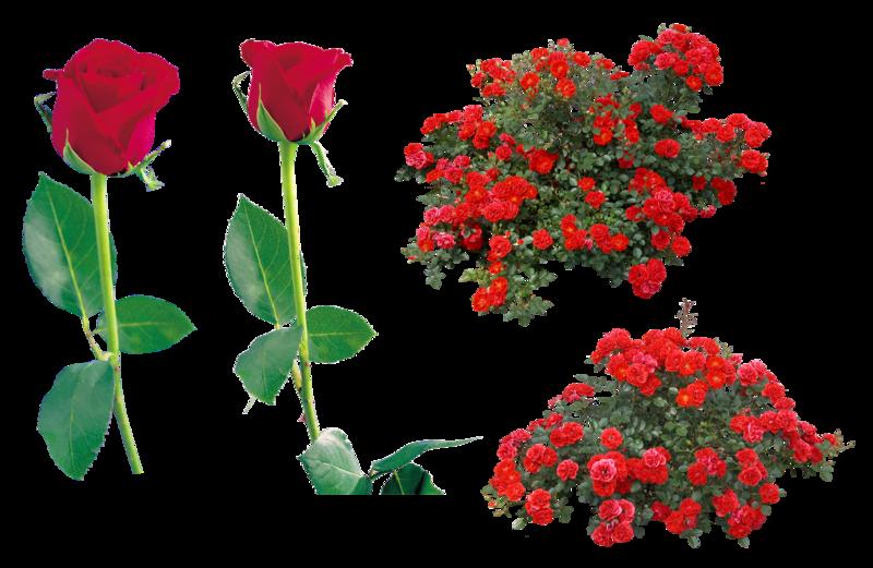 Купить саженцы почвопокровных роз почтой  Дивосад
