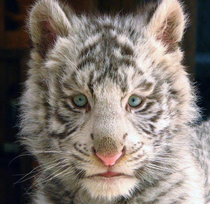 Biały tygrys 15