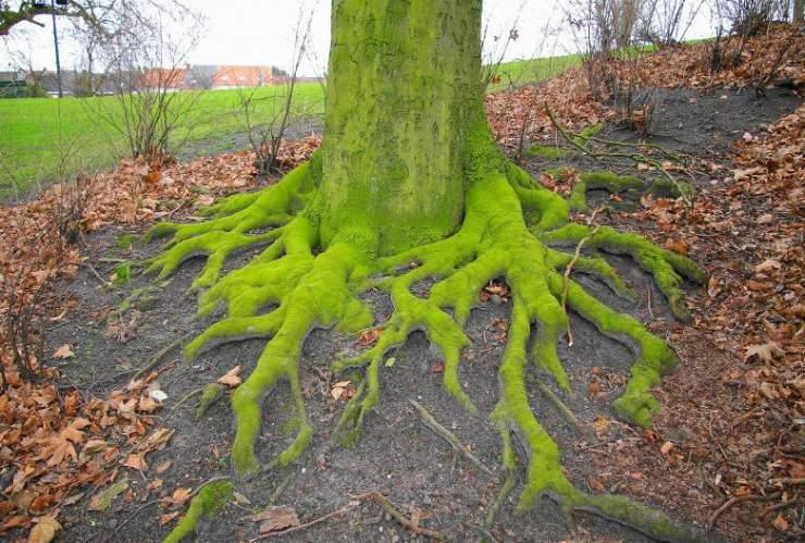 Najdziwniejsze drzewa świata 23