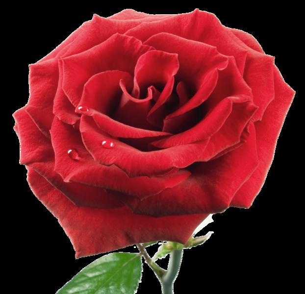 http://abload.de/img/rose-png-gul-21q7k4n.png