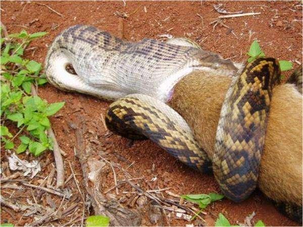 Wąż pożerający kangura 5