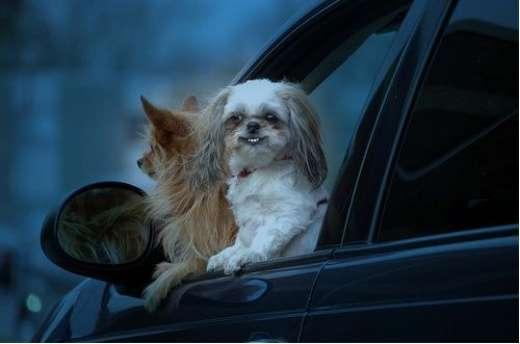 Dlaczego psy lubią jeździć samochodami ? 3