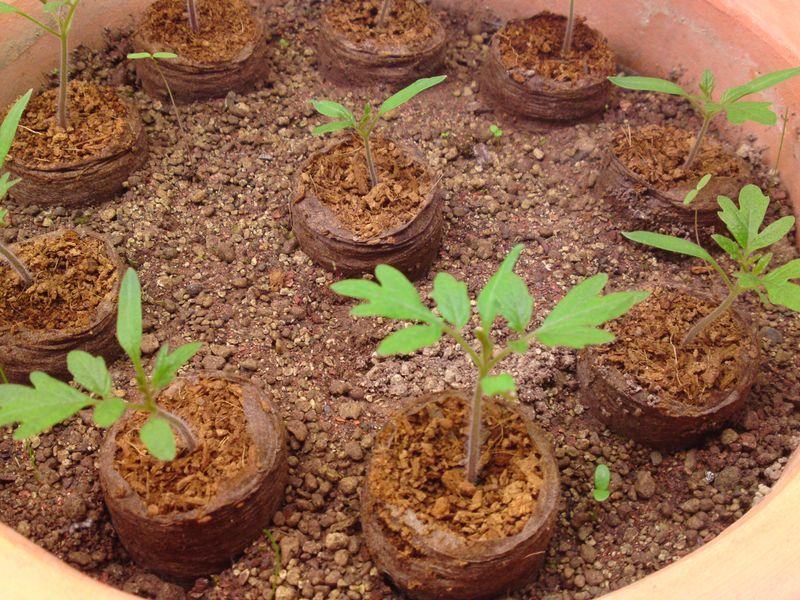 tomaten und schimmelnde torft pfe samen anzucht vermehrung green24 hilfe pflege bilder. Black Bedroom Furniture Sets. Home Design Ideas