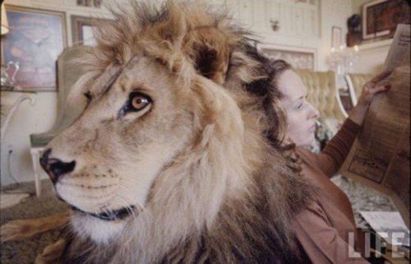 Lew domowy 17