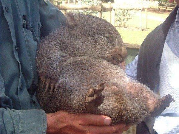 Wombat tasmański 2
