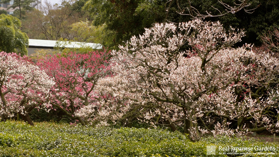 This Garden Hosts One Of The Most Famous Plum Blossom Spots Throughout Japan .