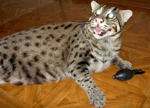 Udomowiony Taraj (Fishing cat) 17