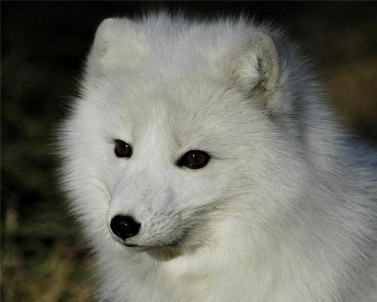 Biały lis 10