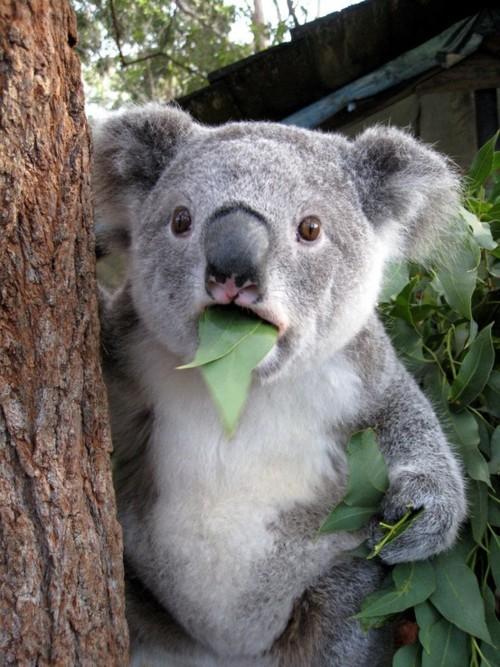 abload.de/img/wtf-koala-bear-in-shoa1kvt.jpg