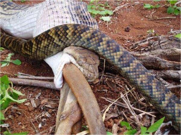 Wąż pożerający kangura 12