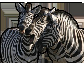 Zebra PNG resmi