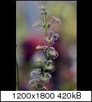 droserastolonifera01rfkm6.jpg