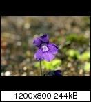 p.grandifloraflower017ojwg.jpg