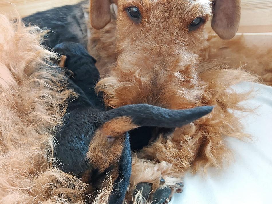 Airedal Terrier, Welpen,