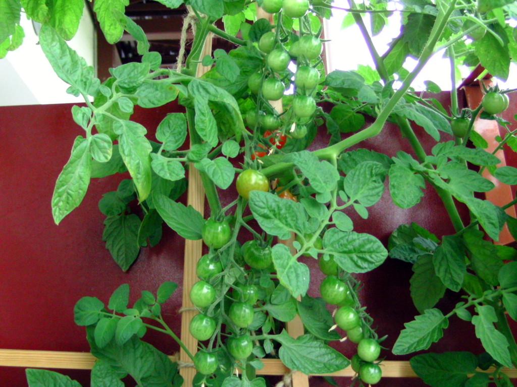 tomatenpflanzen f r den balkon. Black Bedroom Furniture Sets. Home Design Ideas
