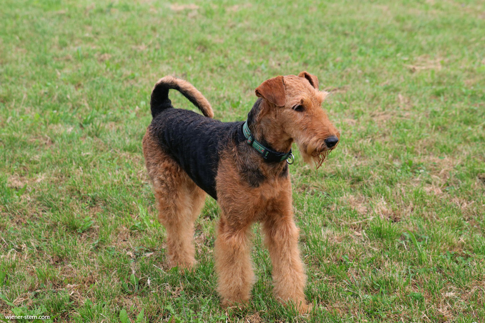 Airedale Terrier Team