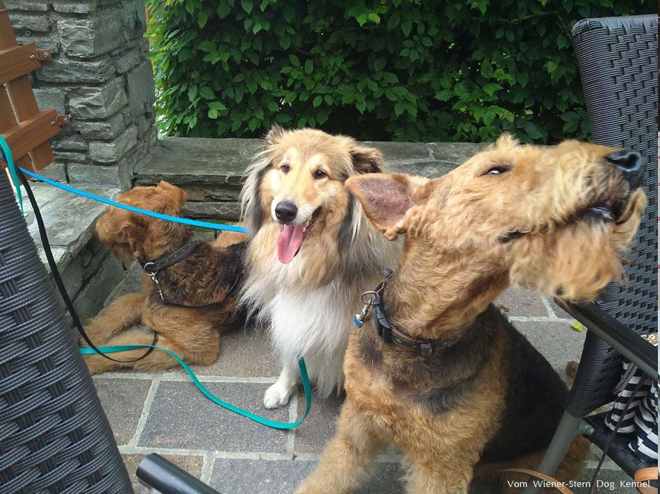 Collie Austria, Airedale Terrier Austria