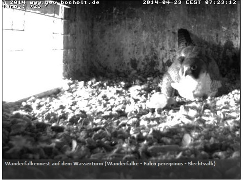 zielitz webcam falken