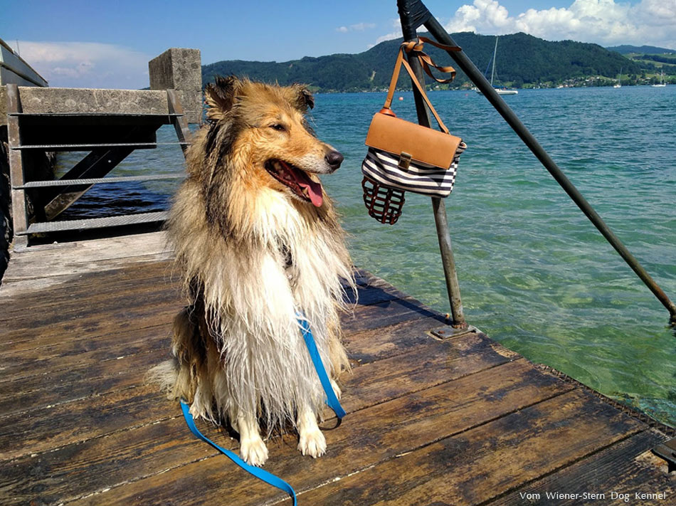 Collie Alisa am Attersee