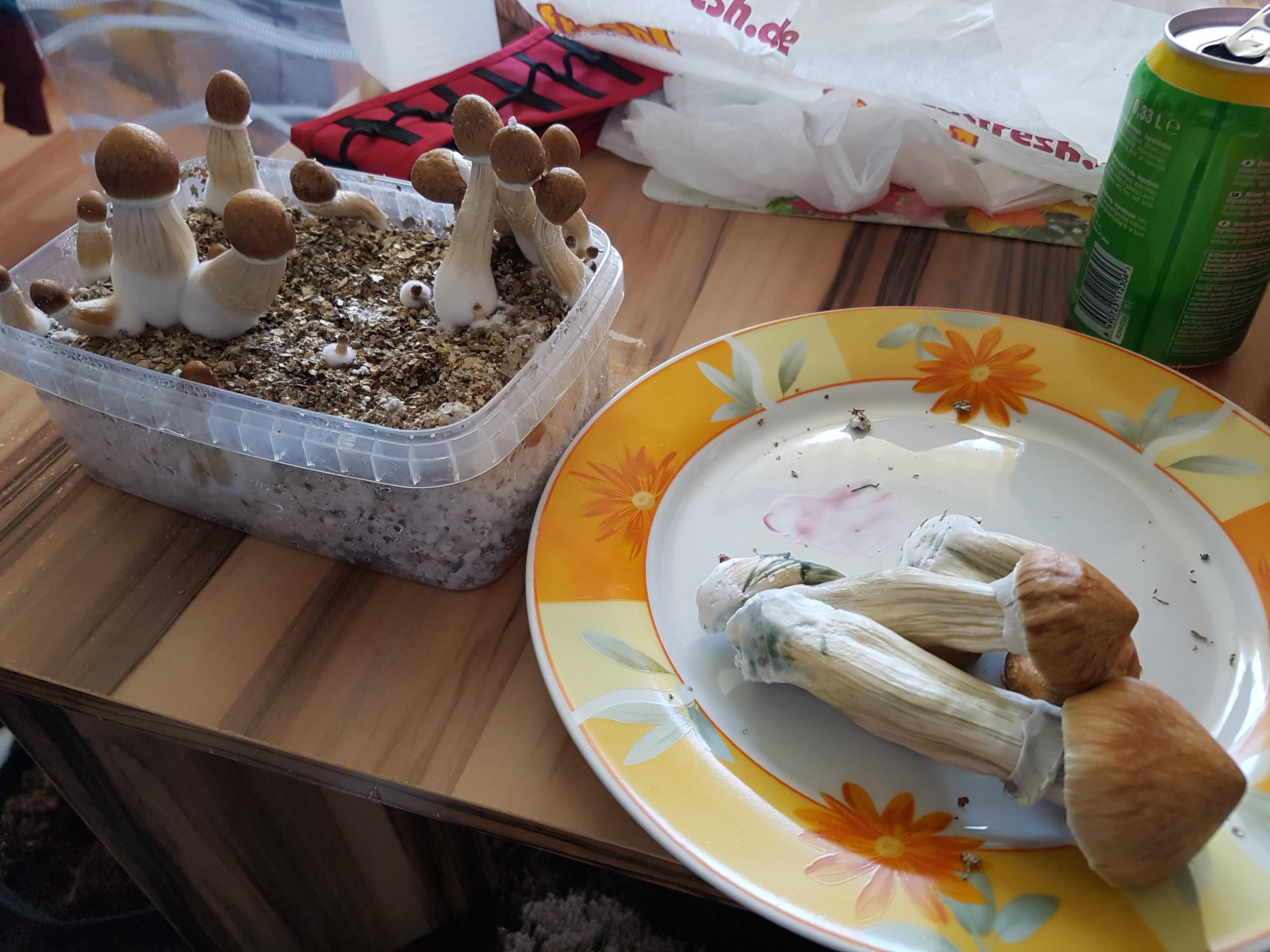 mushroom growbox selber bauen mit roggen