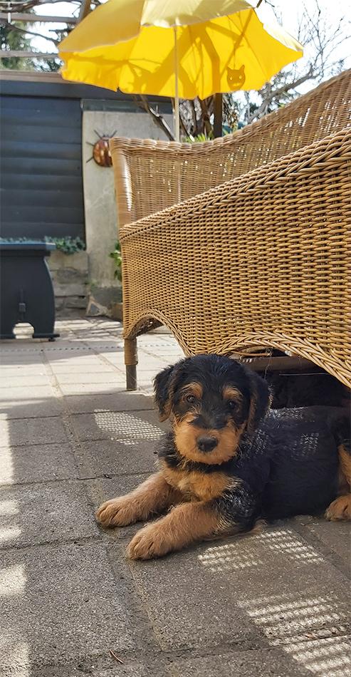 Airedale Terrier Welpen, 2021