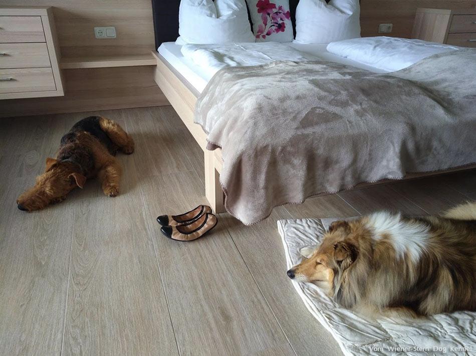 Airedale Terrier Basia am Wienerberg