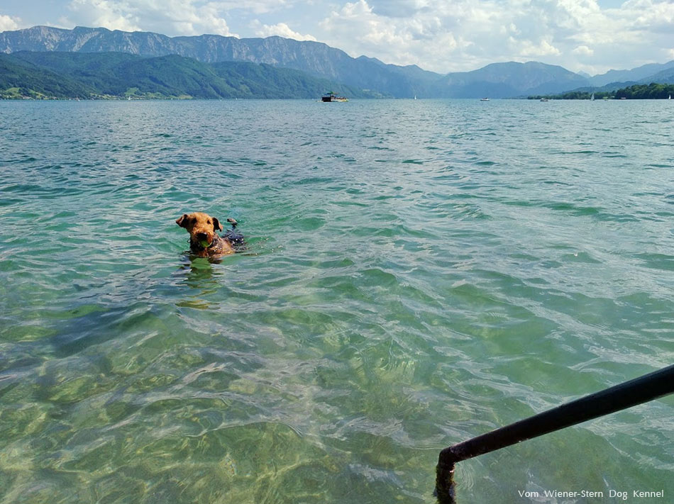 Airedale Terrier Attersee