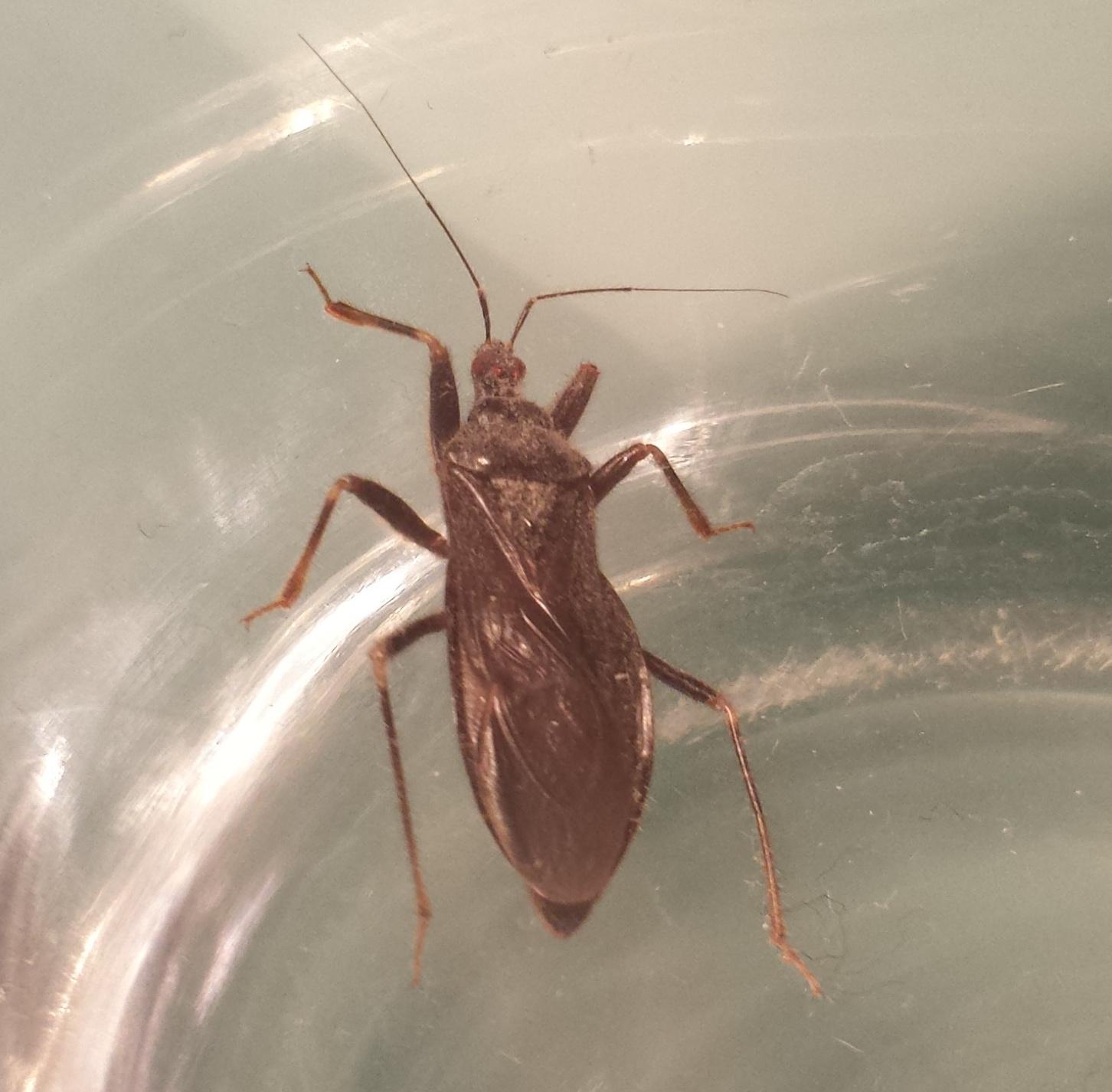 unbekannter k fer mit roten augen k fer coleoptera bestimmen actias. Black Bedroom Furniture Sets. Home Design Ideas