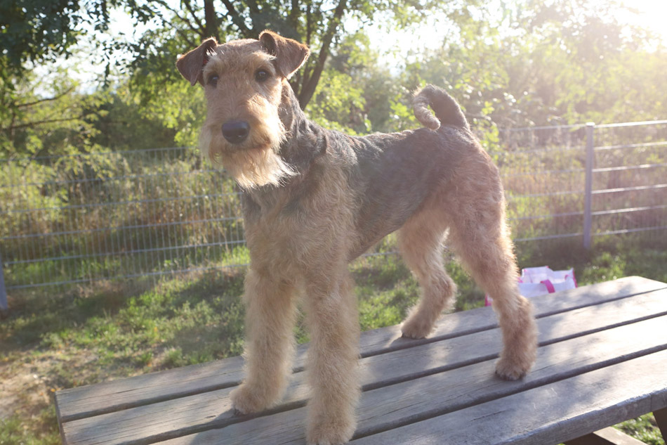 Airedale Terrier Mira