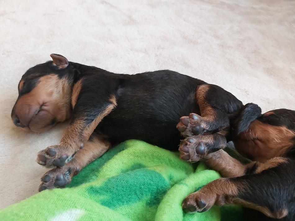 Airedale Terrier, Welpen