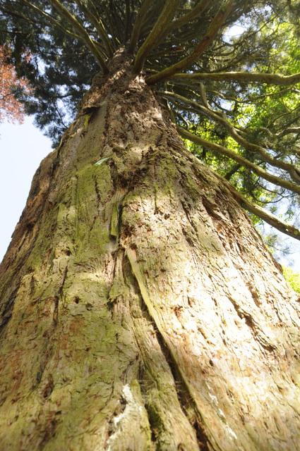 Mammutbäume: Sequoia, Sequoiadendron, Metasequoia - Seite 7 _dsc0169iisi8
