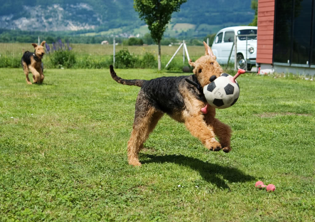Airedale Terrier mit Ball