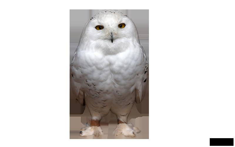 Baykuş PNG - Owl PNG