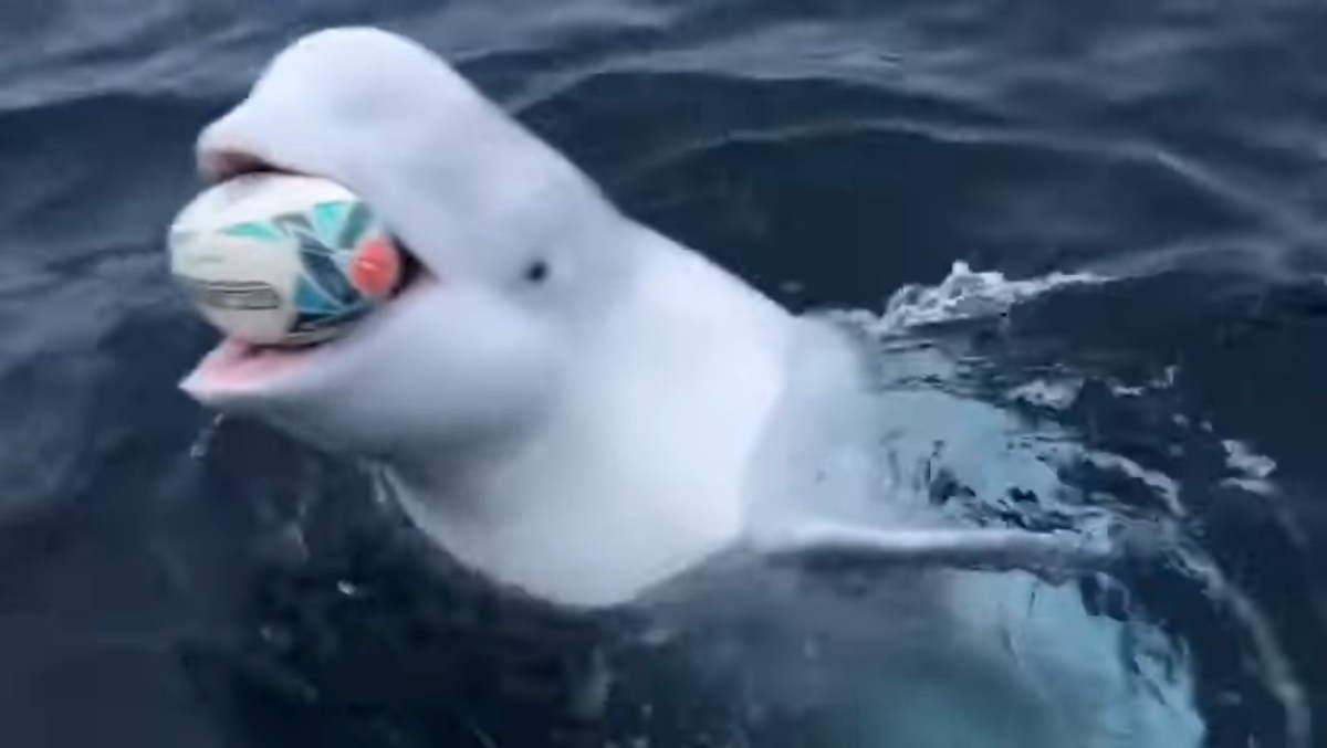 beluga_whale1