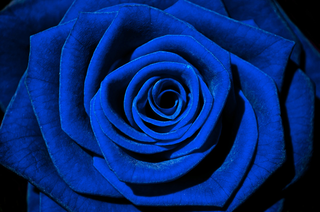 [Resim: blue_rose-v1609201612dcs19.jpg]