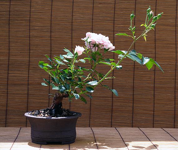 bonsai alle arten und sorten beliebte pflanzen erfahrungen green24 hilfe pflege bilder. Black Bedroom Furniture Sets. Home Design Ideas