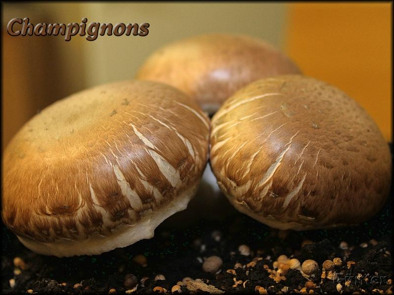 [Bild: champignons_29112018upd07.jpg]