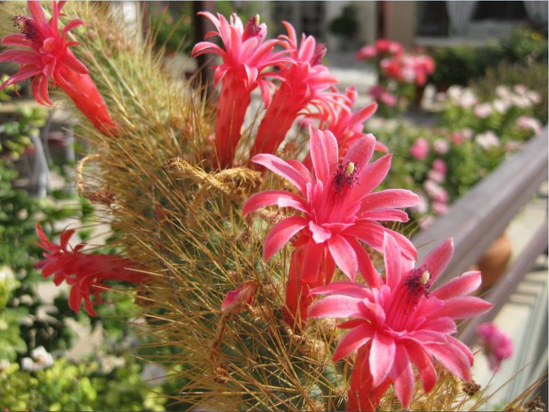 Cleistocactus samaipatanus Cleistosamai02ifjrv
