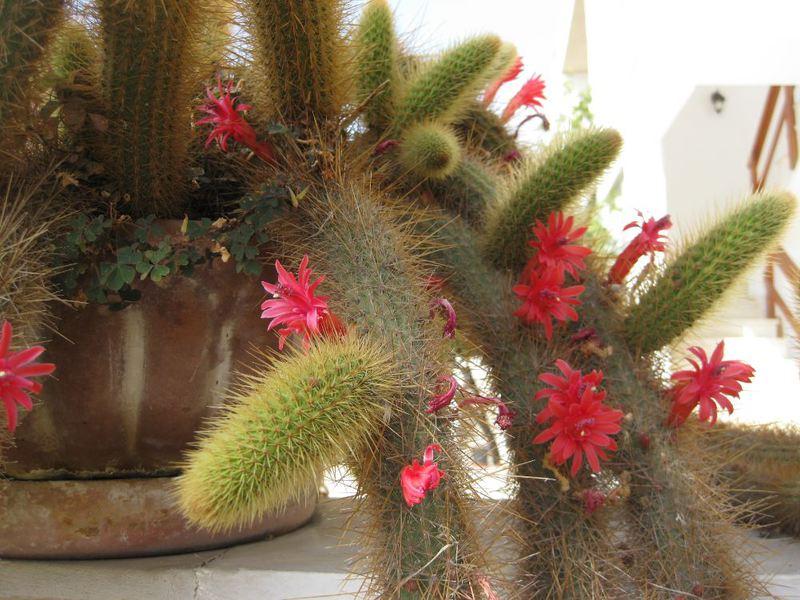 Cleistocactus samaipatanus Cleistosamai0380j40