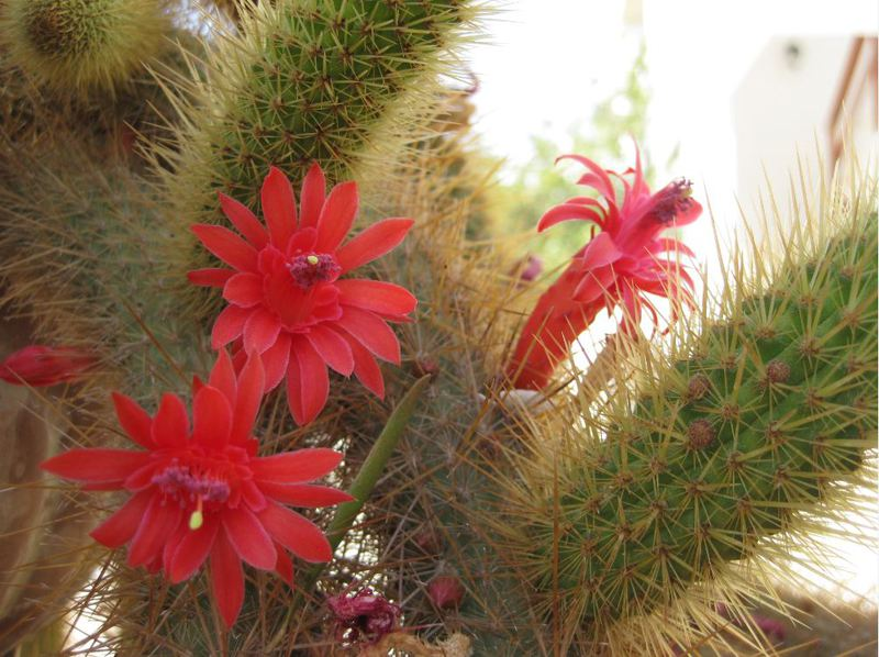 Cleistocactus samaipatanus Cleistosamai04bmkrz
